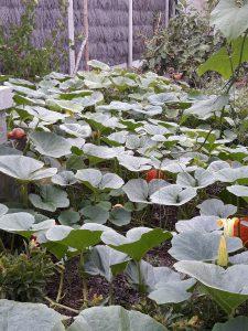 Plant de Potimarron Red Kuri 2019